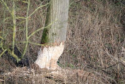 Bevers in de polder