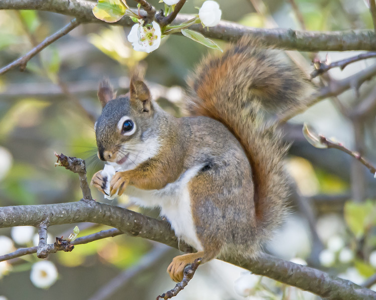 Squirrel in the Peare