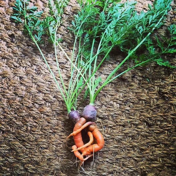 I_m_thinking_about_planting_carrots_in_my_garden_again.__But_this_is_what_happened_the_last_time_I_tried_to_grow_them.___shenanigans__carrotlove.___carrots__growyourown__homegarden__plantbased__plantpowered__plantfood__vegan__veganfoodshare__veganlif.jpg