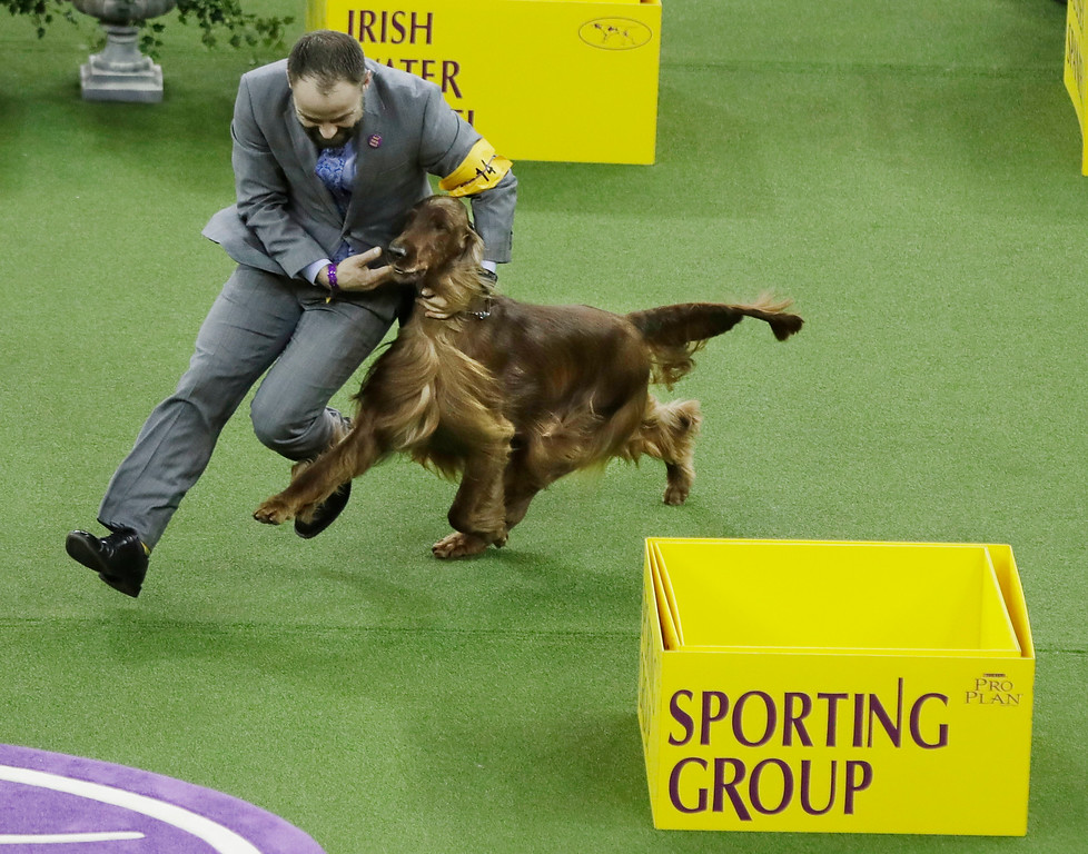 . An Irish setter wins the Sporting group during the 141st Westminster Kennel Club Dog Show Tuesday, Feb. 14, 2017, in New York. The Irish setter won the sporting group. (AP Photo/Frank Franklin II)