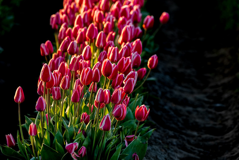 Sunrise Tulips-15.jpg
