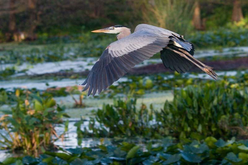 Great Blue Heron after nest building materials,  Wakodahatchee Wetlands, Florida
