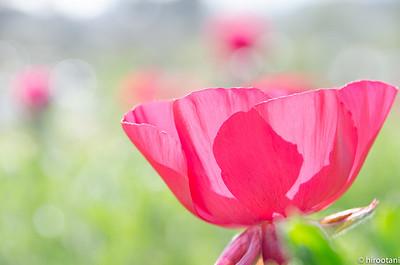 130331Carlsbad Flower Fields