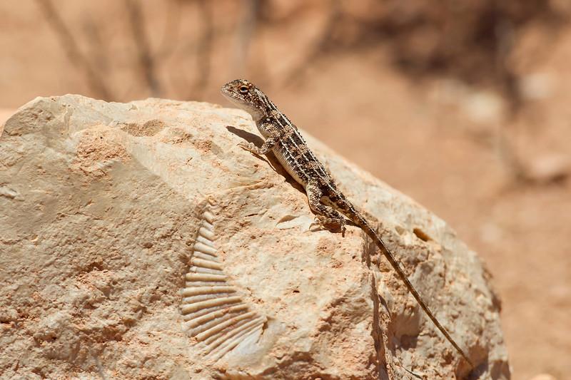 Southern Heath Dragon on a fossil