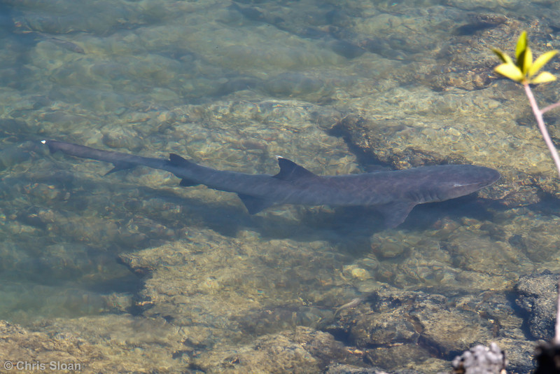White-tipped Reef Shark at Punta Moreno, Isabela, Galapagos, Ecuador (11-23-2011) - 988.jpg