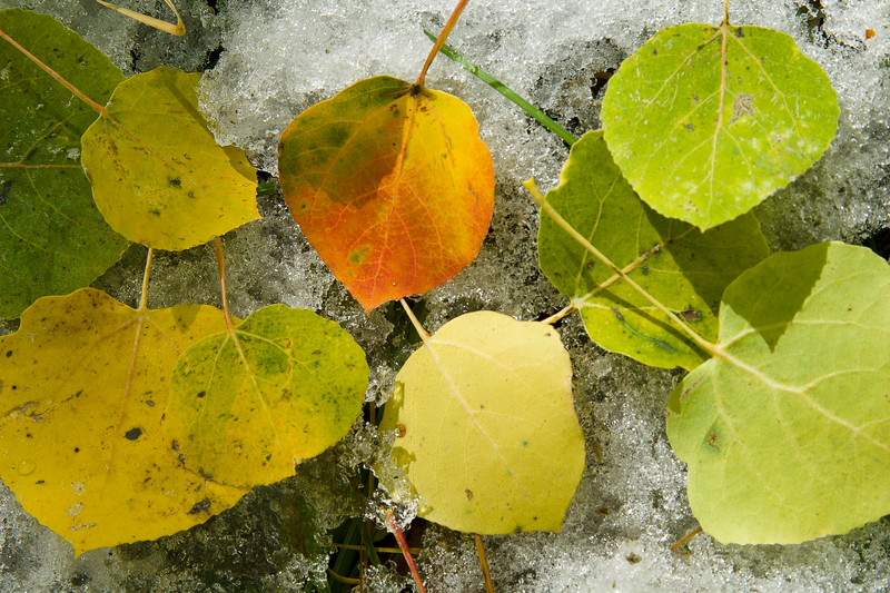 Colorful Leaves on Snow
