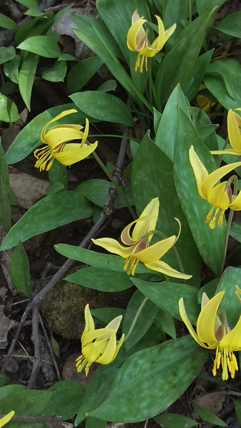 Trout Lillies