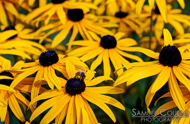 A bee amongst a bunch of Black-eyed Susans.