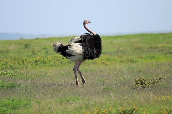 Ostrich Tanzania 2009 2016