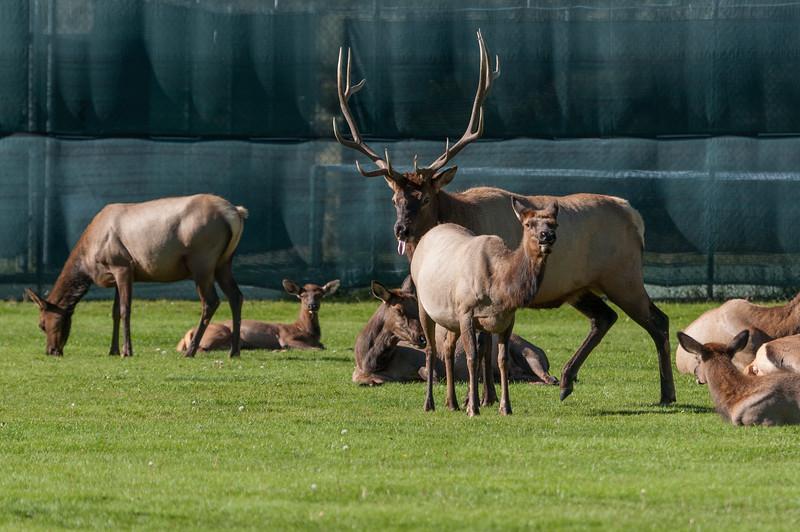 elk-at-ball-park-1-6.jpg