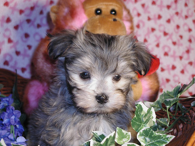 2002 MALTI POO Sold Photo and Videos 1