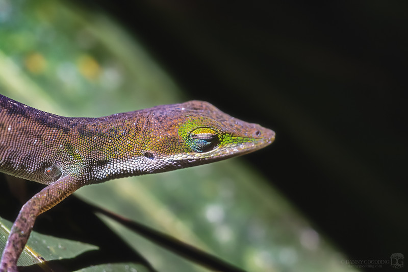 Basking Carolina anole