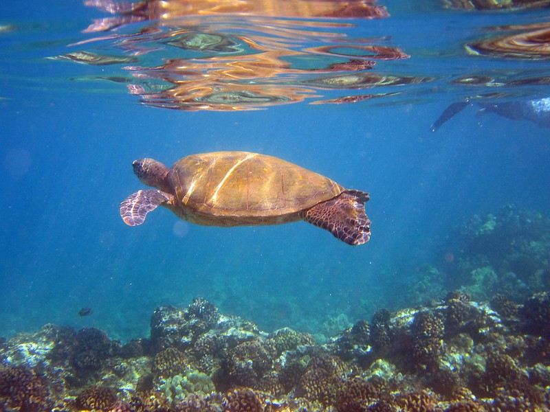 Sea Turtle in Maui