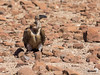 Desert scavengers?