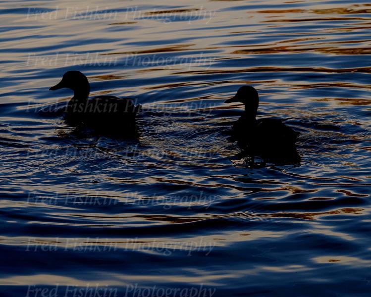 duck couple.jpg