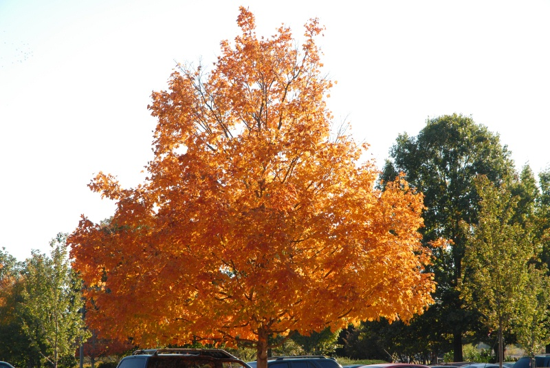 A gorgeous maple in our parking lot