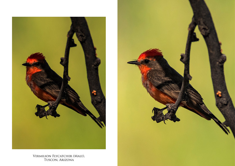 vermilion flycatcher copy.jpg