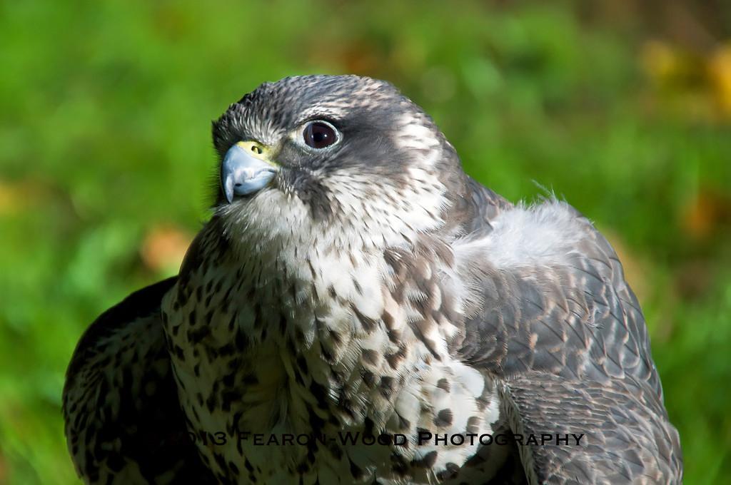 immature Peregrine Falcon<br /> (Falco peregrinus)