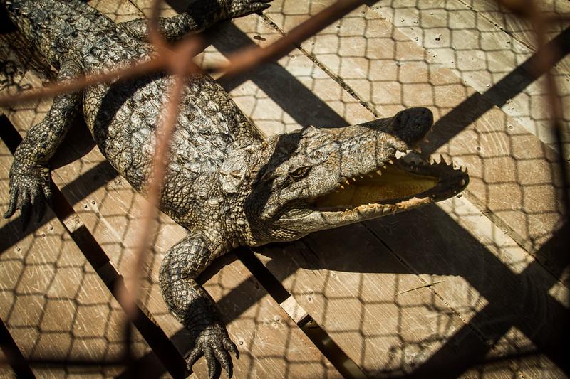 Cross breed between Siamese crocodile and freshwater crocodile, captive. Prek Taol floating village, Tonle Sap, Cambodia.