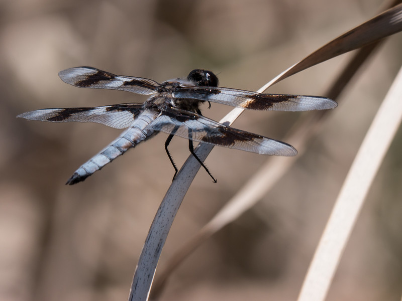 Eight-Spotted Skimmer - Libellula forensis (M)