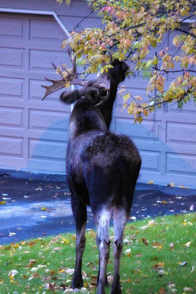 Moose-101009-5a.jpg