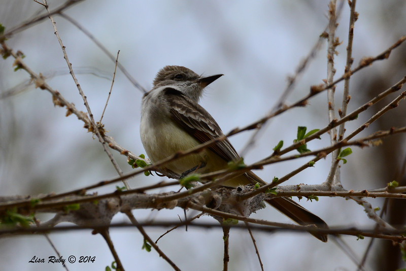Ash-throated Flycatcher - 4/19/2014 - San Pedro Riparian National Conservation Area, Sierra Vista, Az