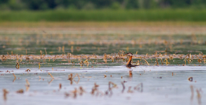 Red-necked Grebe family with young juvenile baby Upper Rice Lake Clearwater County MN IMG_6705.jpg