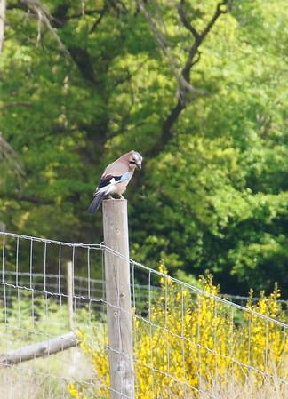 Scottish birds, June 2013