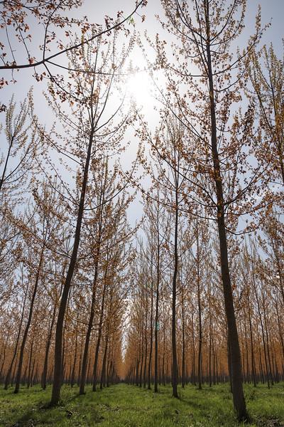 Poplars - Guastalla, Reggio Emilia, Italy - April 8, 2018