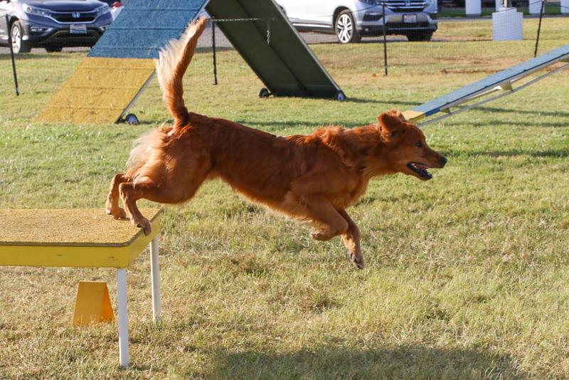 11-4-2018 Border Terrier-2486.jpg