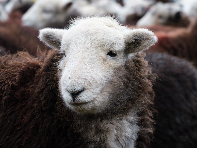 Herdwick Sheep Portrait