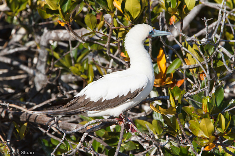 Red-footed Booby white morph adult at Darwin Bay, Genovesa, Galapagos, Ecuador (11-25-2011) - 342.jpg