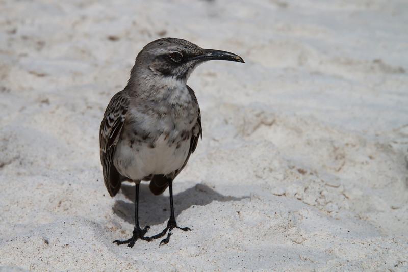 Espanola Mockingbird at Gardner Bay, Espanola, Galapagos, Ecuador (11-21-2011) - 600.jpg