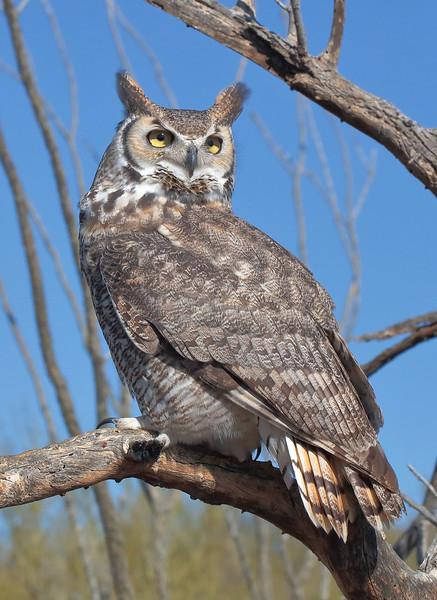 Tucson Owl.jpg