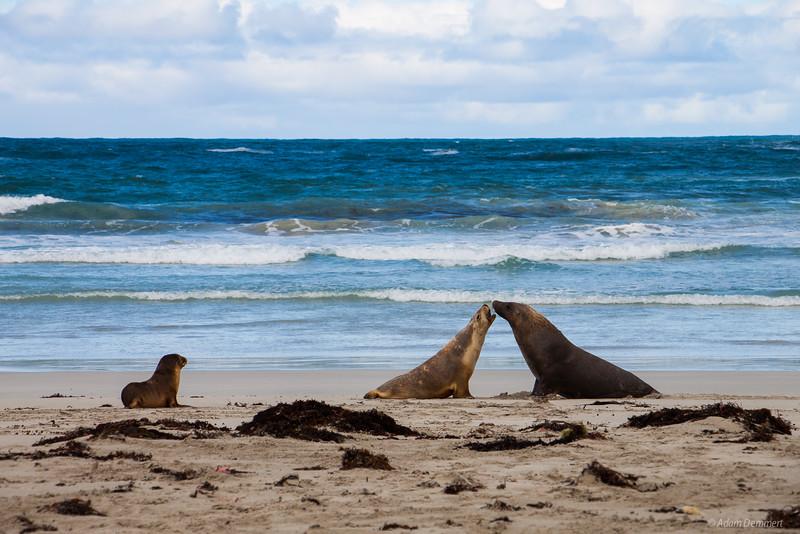 Sea Lions on Kangaroo Island