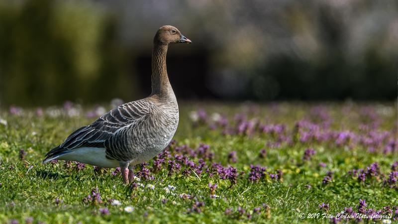 Kortnæbbet gås - Anser brachyrhynchus - Pink-footed goose