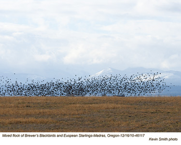 Brewer'sBlackbirds&Starlings46117.jpg