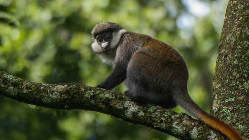 Red-Tailed Monkey Cercopithecus cephus ascanius. Kakamega Rainforest, Kenya.