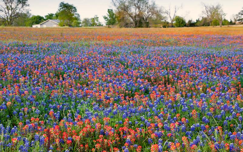 2016_4_9 Texas Wildflower Shoot-8824.jpg