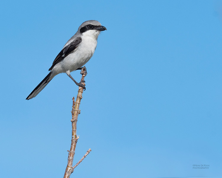 Loggerhead Shrike, Fort De Soto, St Petersburg, FL, USA, May 2018-1.jpg
