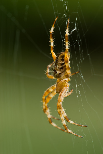 Garden spiders start out small but by the fall there big.