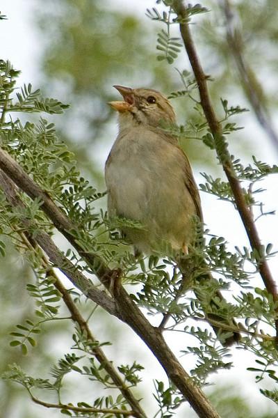 Sparrow - Rufous-winged - Buenos Aires NWR - AZ