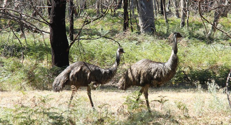 Emu's at Moora Moora Reservoir