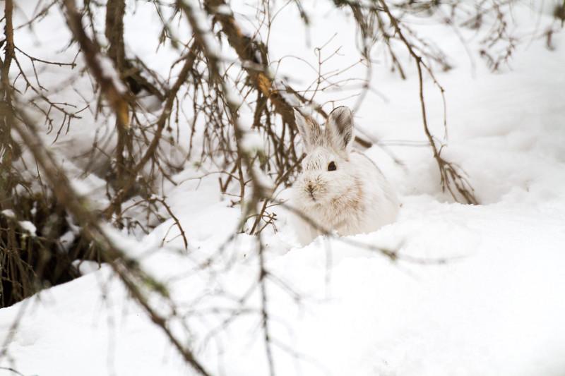 Snowshoe Hare Warren Nelson Memorial Bog Sax-Zim Bog MN IMG_0724.jpg