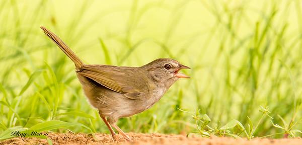 Olive Sparrow_DWL4565.jpg