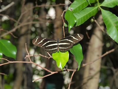 0 2012 Zebra Longwing butterfly misc III