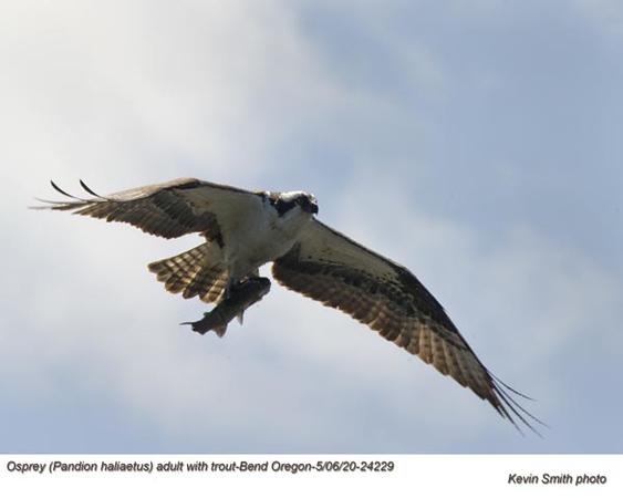 Osprey w-Trout A24229.jpg