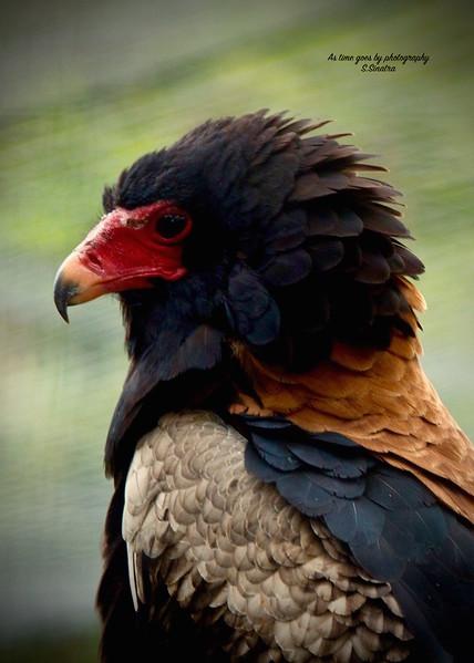 Bateleur eagle S.S copy.jpg