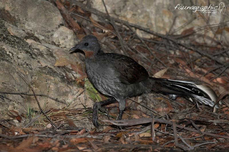 Superb Lyrebird - Female