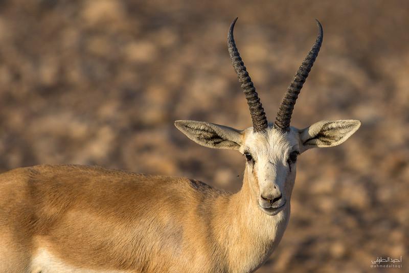 Gazelle (13).jpg